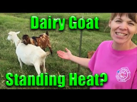 How to tell if your Goat is in a Heat Cycle