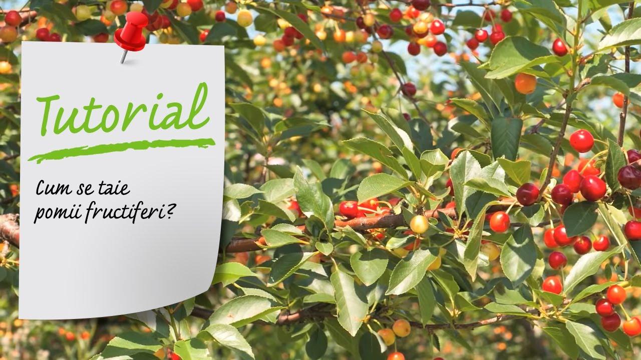 Tutorial VIDEO - Cum se taie pomii fructiferi? (toaletare pomi)