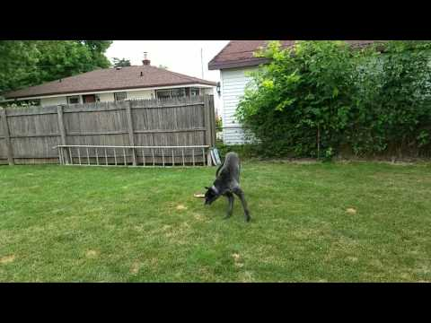 Deerhound frolicking