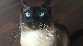 Сиамский Кот- это мохнатый будильник =^..^=   СИАМСКИЕ КОШКИ