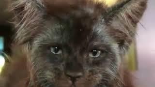 Кот с лицом как у человека