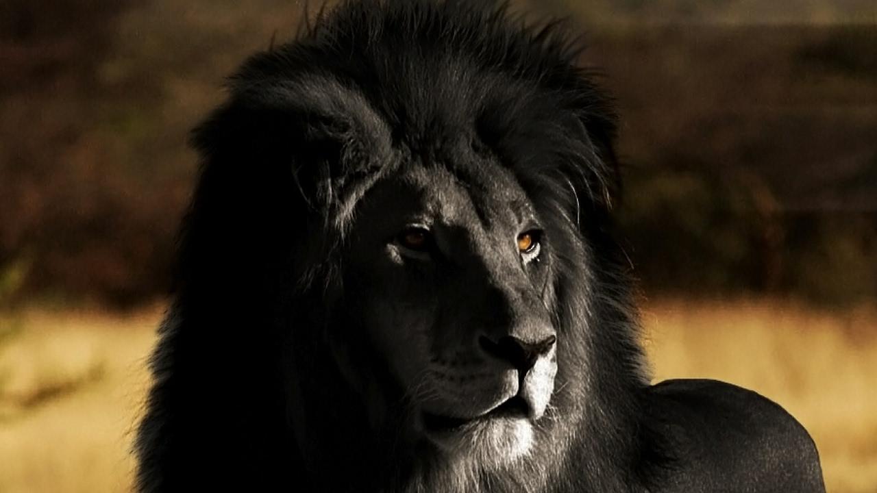 яркие редкий черный лев картинки пользователи