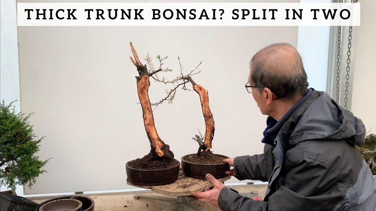 Thick Trunk Bonsai Split Trunk Literati Style Youtube