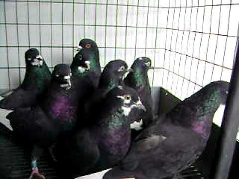 2011 Rick Mee/Black Elvis Crosses, Roller Pigeons 1/2
