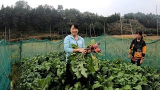 Qiuzi picked radishes for dinner. Doctor Zhou said that he would like to eat more bowls of rice