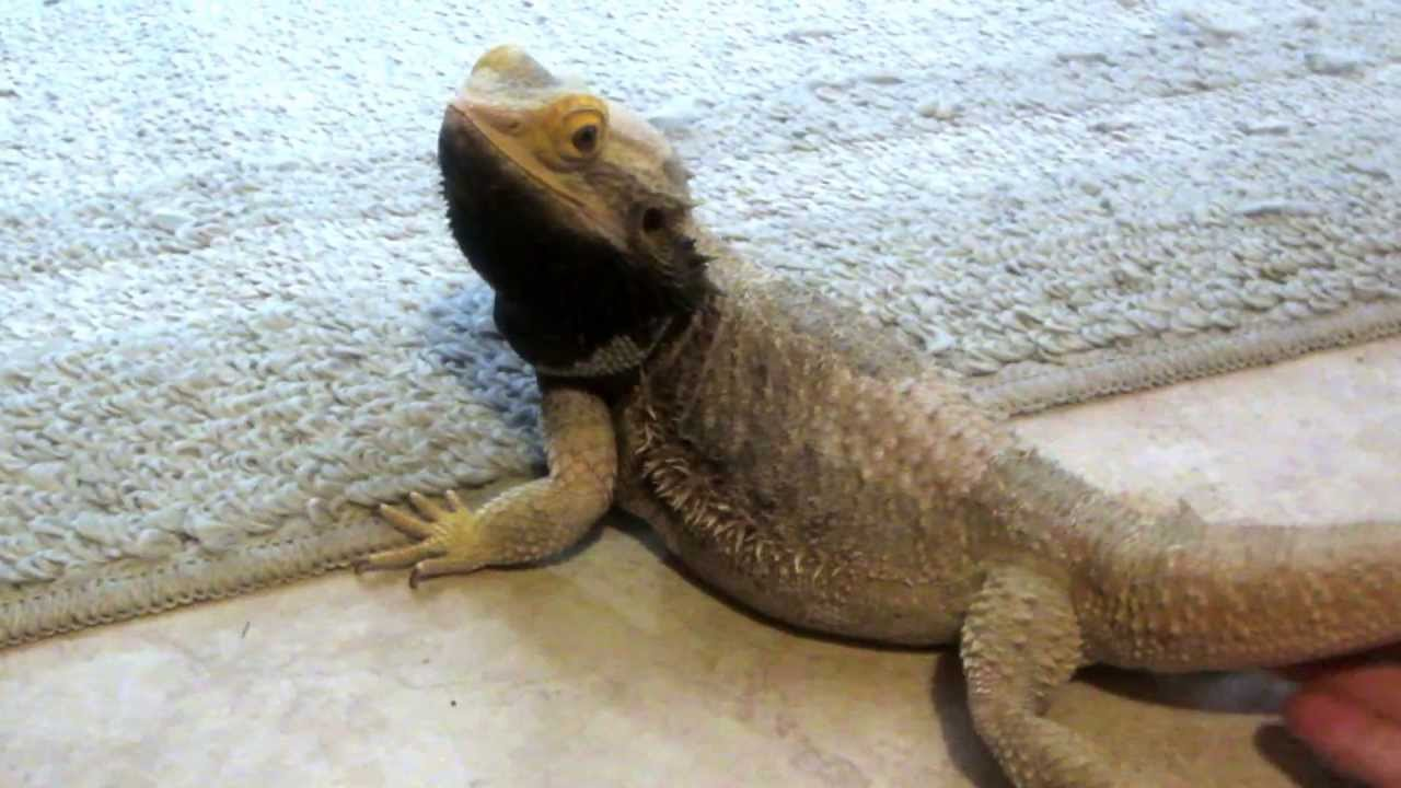 Bearded Dragons Change Color On Diffe Body Parts For Social Signals And Temperature Regulation