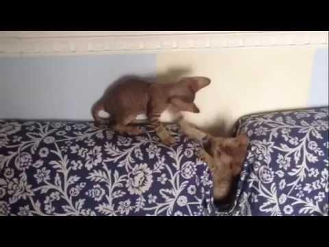 Devon Rex cats kittens playtime! Bosco di Stelle Cattery - Allevamento di Devon Rex