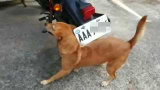 原來車牌快斷的真相就是自已家裡狗狗爽爽的在抓癢癢 Awesome Friction Dog - The truth of license plate almost broken