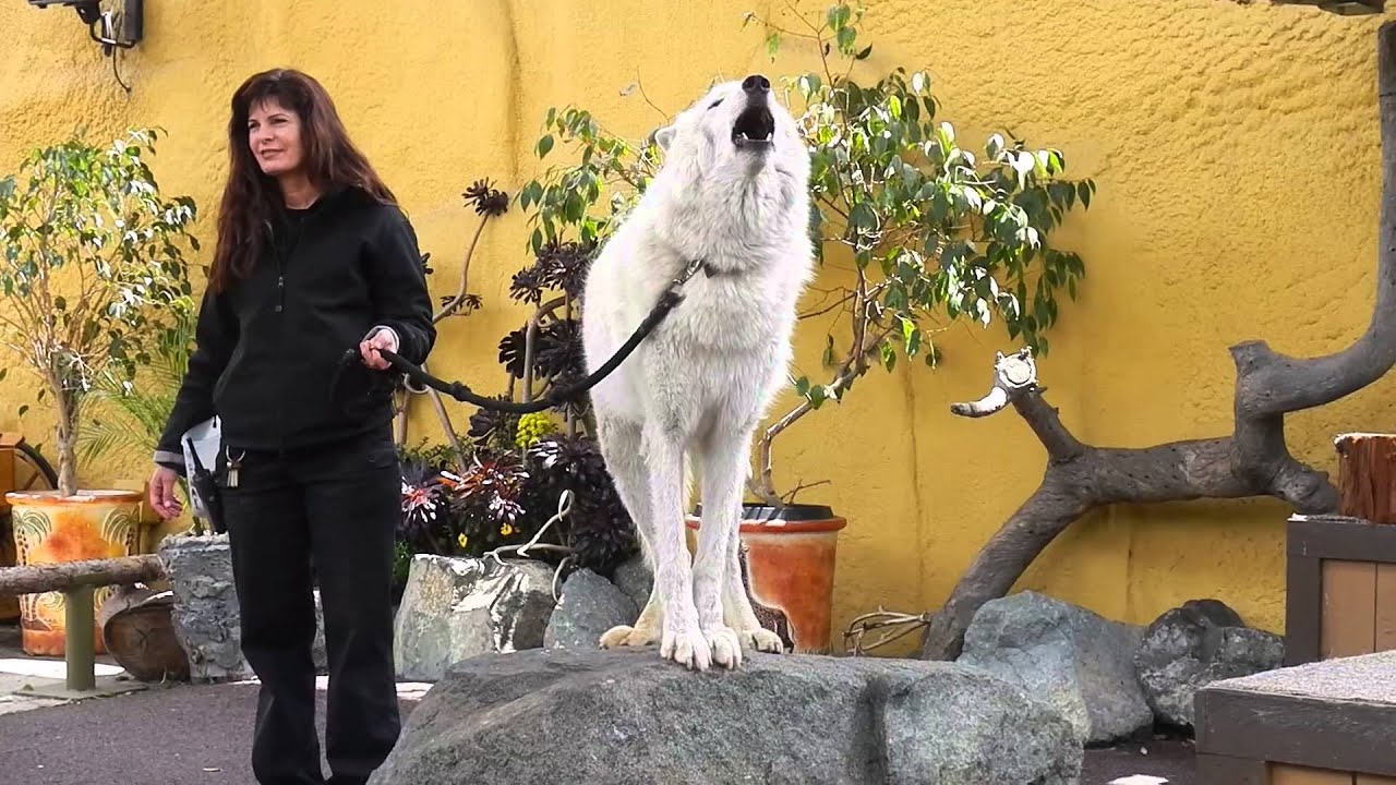 San Diego Zoo White Arctic Wolf Howling Youtube