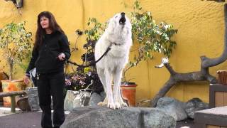 San Diego Zoo - White Arctic Wolf Howling