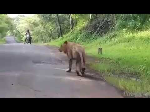 exclusive video of  lion in thane roads ghodbunder
