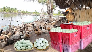 INSIDE THE MOST SUCCESSFUL DUCK FARM \u0026 CHICKEN LAYER POULTRY │ Farming│