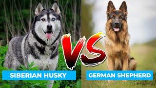 Siberian Husky Vs German Shepherd  in Hindi | Dog VS Dog | PET INFO