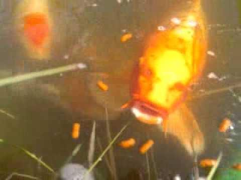 My breeding koi pond youtube for Koi breeding pond