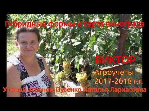 Виноград Виктор - ранний крупноплодный виноград на участке Пузенко Натальи Лариасовны