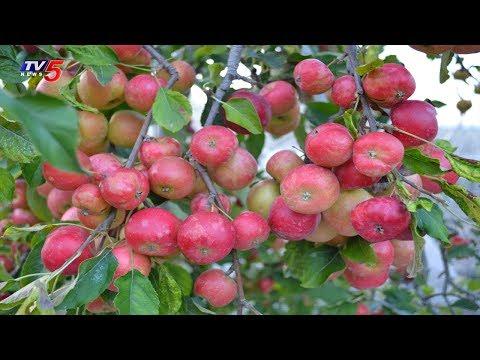 విశాఖలో యాపిల్ తోటలు..! | Apple Farming In Visakhapatnam Agency | TV5 News