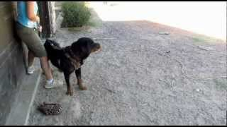 Rottweiler Protection Training (odin Von Riesig)