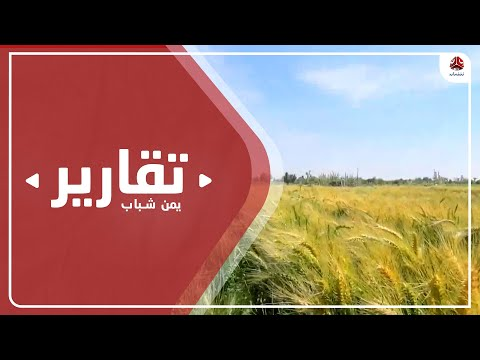 مأرب .. زراعة صنف جديد من القمح بعد نجاح مراحل الاختبار