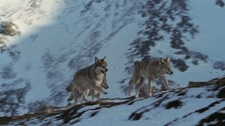 Wolves Master Winter Hunting