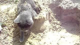 Кот в песке.