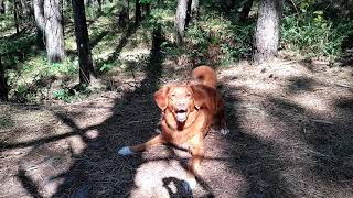 Toller scream. Screaming dog Duck tolling retriever.