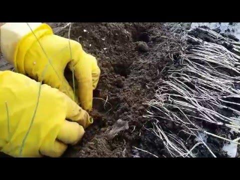 посадка рассады лука порея в грунт