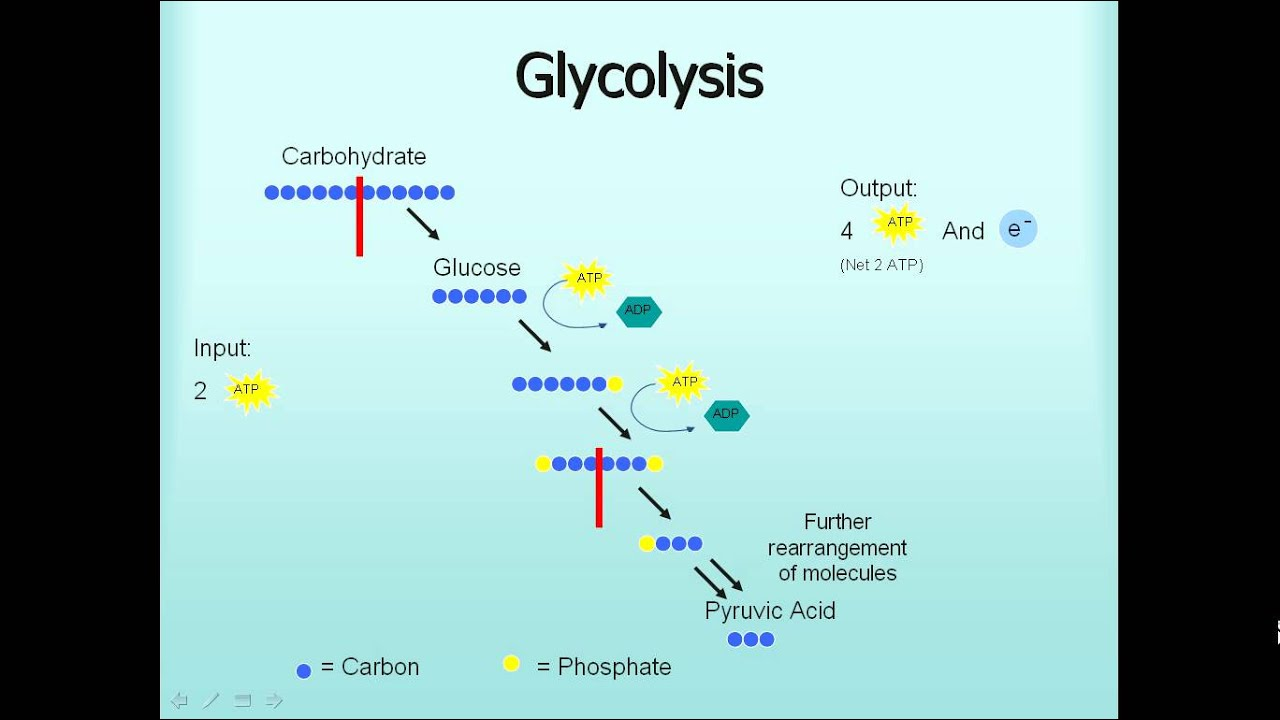 Microbiology: Glycolysis, Fermentation, Respiration - YouTube