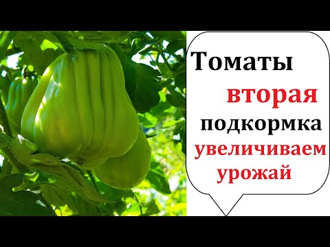 Томаты Вторая важная подкормка после высадки в грунт. Подкормка для улучшения урожая томатов!