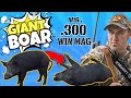 GIANT boar gets SMOKED with .300 WIN MAG.
