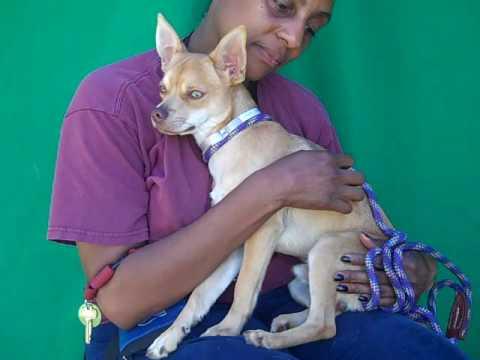 A4961595 Senna | Chihuahua/Basenji Mix Puppy