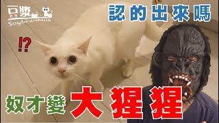 【豆漿實測】看到大猩猩 貓咪瞳孔放大到不可思議