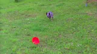 This Video Previously Contained A Copyrighted Audio Track. Due To A Claim By A Copyright Holder, The Audio Track Has Been Muted.     Education Canine Et Sport Canin : Help Et Ses Debuts En Frisbee Canin