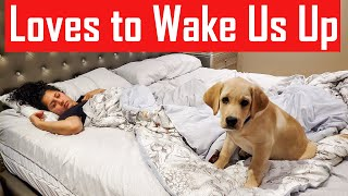 Our Labrador Puppy Loves to Wake Us Up Every Morning | How My Dog Wakes Me Up in the Morning