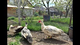 Мускусные утки - пополнение, привезли семью и яйцо на инкубацию