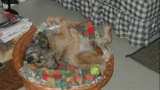 Scottish Border Terrier-nemi