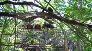 Azulão Cantando e Brigando com o solto no mato (Azulão Barracuda)