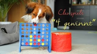 "Amazing dog trick - Kooikerhondje Cleo plays ""connect four"""