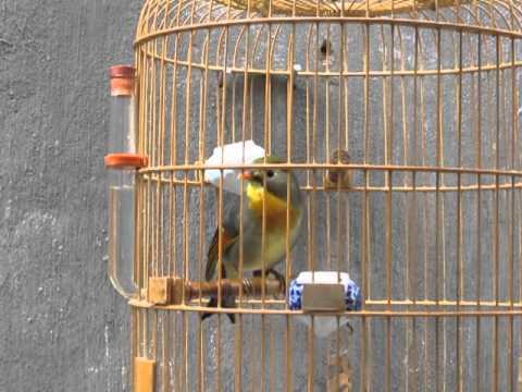 chim quế lâm của trường sơn