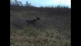 Охота на зайца с дратхааром без ружья