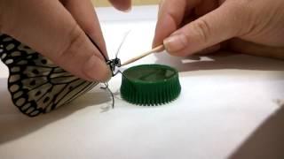 Как кормить бабочку в домашних условиях