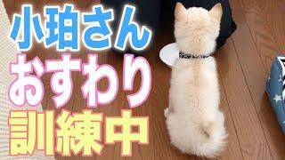 実家で飼っている白柴犬の小珀(♂)と申します。小珀の成長日記を動画で...
