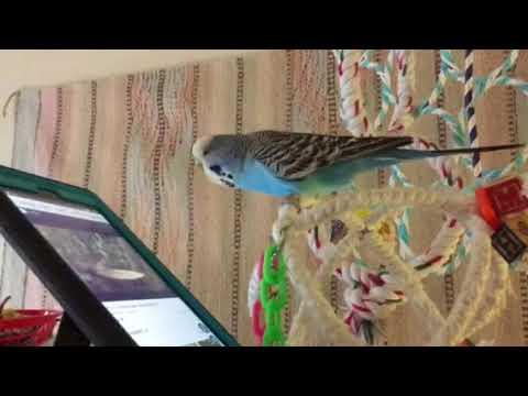 New Budgie Owner   Avian Avenue Parrot Forum