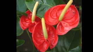 Любимые растения-Антуриум Шерцара