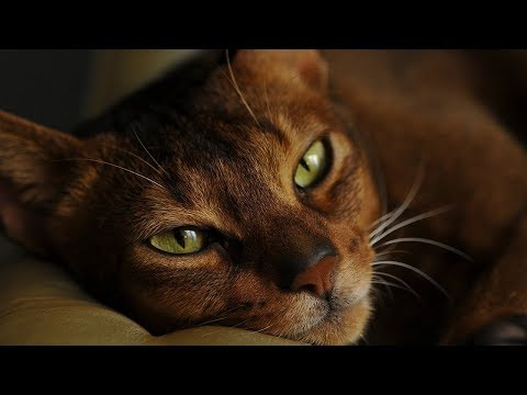 How to Care for Abyssinian Cats - Taking Care of Your Cat's Health