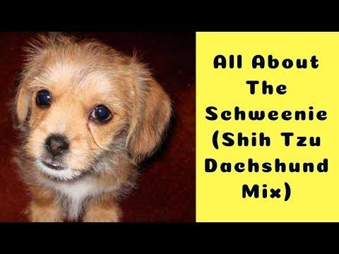 All About The Schweenie (Shih Tzu Dachshund Mix)