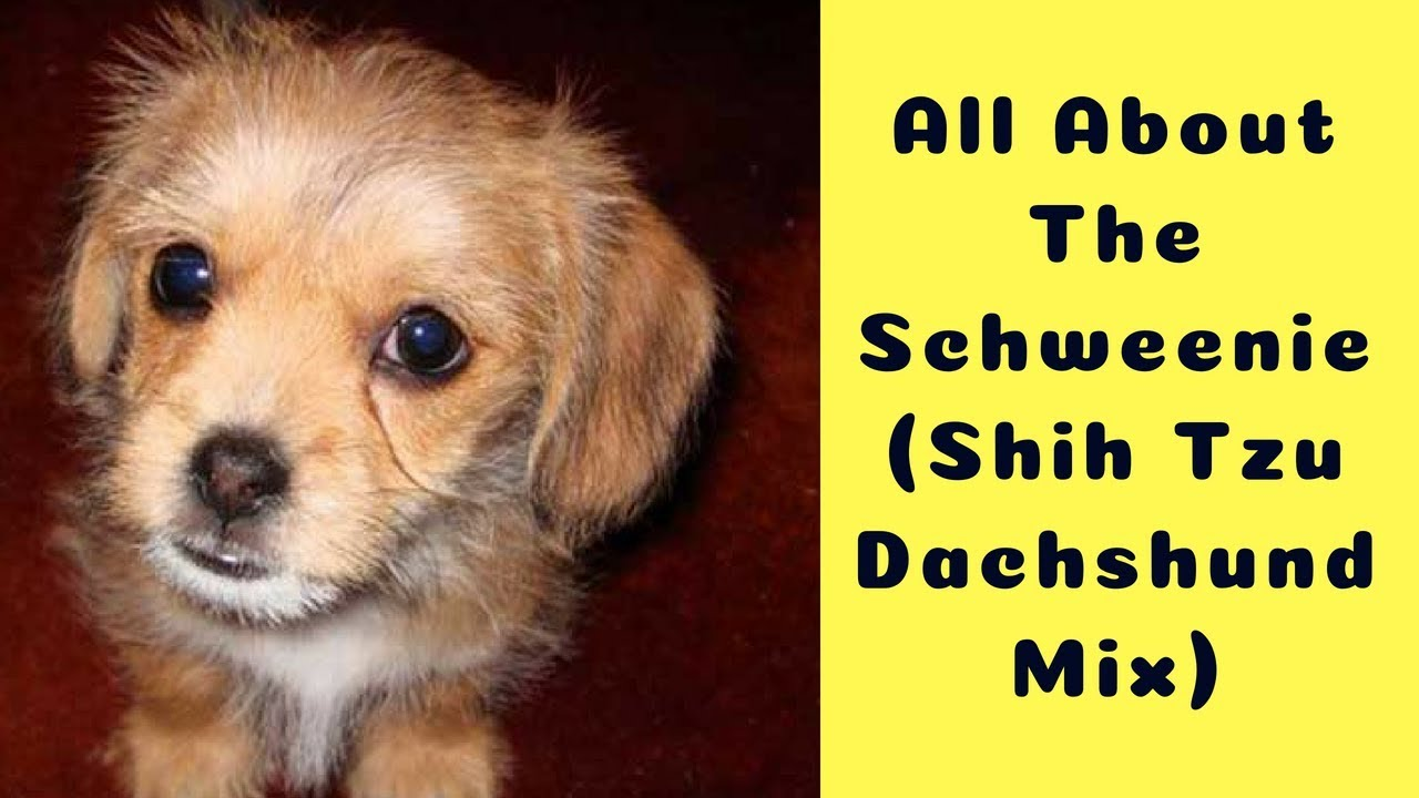 All About The Schweenie Shih Tzu Dachshund Mix Youtube
