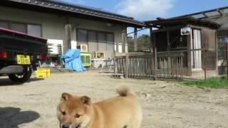 生後2ヶ月を過ぎた山陰柴犬の子犬が可愛すぎる.