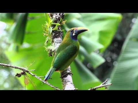 Aulacorhynchus prasinus   Emerald Toucanet