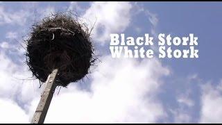Black Stork, White Stork