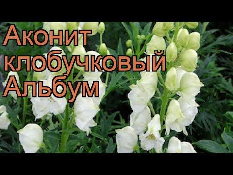 Аконит клобучковый Альбум (aconitum napellus album) 🌿 обзор: как сажать, саженцы аконита Альбум